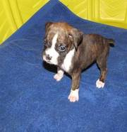 Adorable And Cute Boxer Puppies For Sale