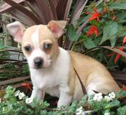 adorable chihuahua puppies ready for e new home