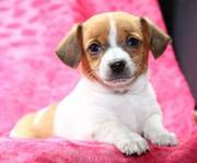 Toy Rat Terrier puppies for sale in acaring family